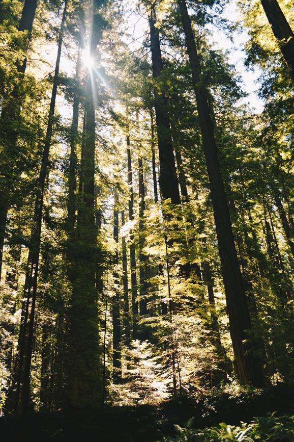 Redwoods-18